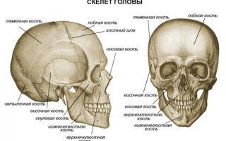 Какие особенности строения черепа человека?