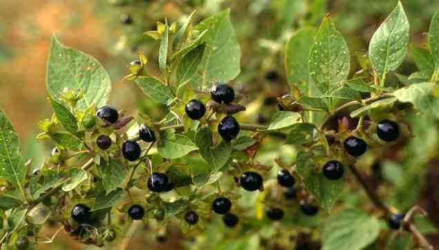 волчьи ягоды декоративные деревья и кустарники