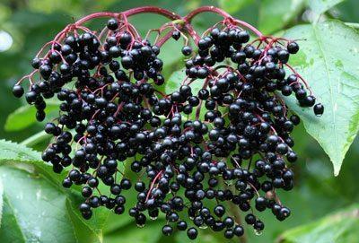 Волчья ягода: фото и описание, как выглядит растение, черная, красная, белая, польза и вред, можно ли есть плоды, листья, симптомы отравления