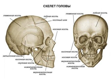 Строение черепа человека. Фото с описанием на русском, латинском, анатомия. Вид сзади, спереди, сверху, сбоку, в разрезе. Лицевой и мозговой отделы, кости