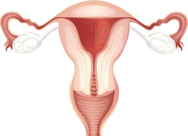 Размеры матки в норме у женщин по УЗИ. Таблица по возрасту, после 30, 40, 50 лет, нерожавших, при беременности, после родов, при менопаузе, миоме, аденомиозе, эрозия шейки