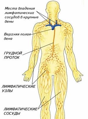 Лимфатические узлы на теле человека. Фото с описанием, атлас-схема, за что отвечают, как лечить