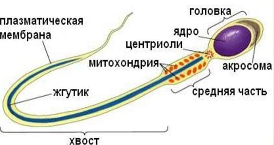 Виды спермицидов, популярные препараты, их действие и эффективность