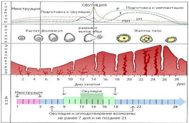 Размеры фолликула по дням цикла: в норме и при отклонении